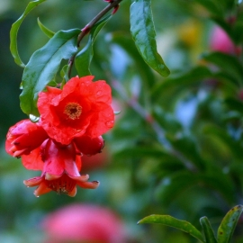 pomegranate blossoms young fruit new fruit min